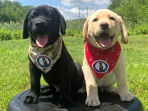 Young puppy service dogs